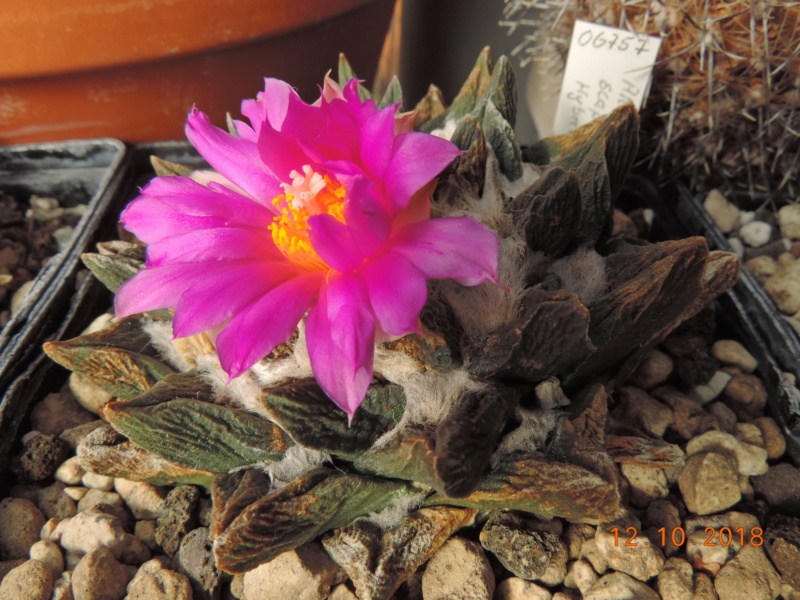 Cacti and Sukkulent in Köln, every day new flowers in the greenhouse Part 200 Bild1334