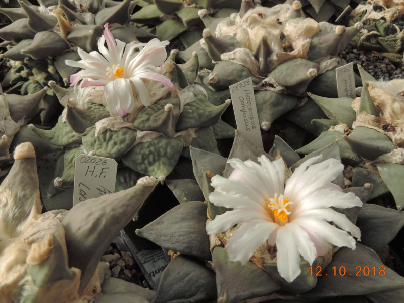 Cacti and Sukkulent in Köln, every day new flowers in the greenhouse Part 200 Bild1338
