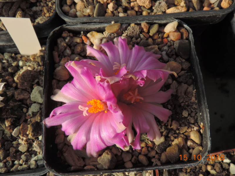 Cacti and Sukkulent in Köln, every day new flowers in the greenhouse Part 201 Bild1373