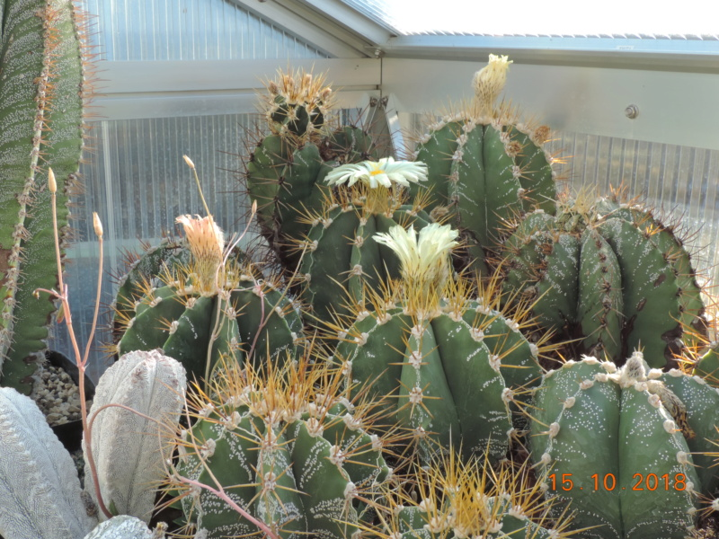 Cacti and Sukkulent in Köln, every day new flowers in the greenhouse Part 201 Bild1387