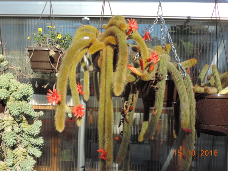 Cacti and Sukkulent in Köln, every day new flowers in the greenhouse Part 201 Bild1388
