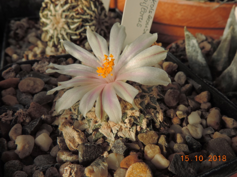 Cacti and Sukkulent in Köln, every day new flowers in the greenhouse Part 201 Bild1392