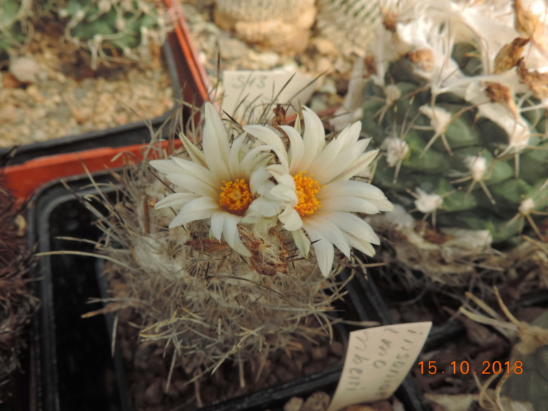 Cacti and Sukkulent in Köln, every day new flowers in the greenhouse Part 201 Bild1393