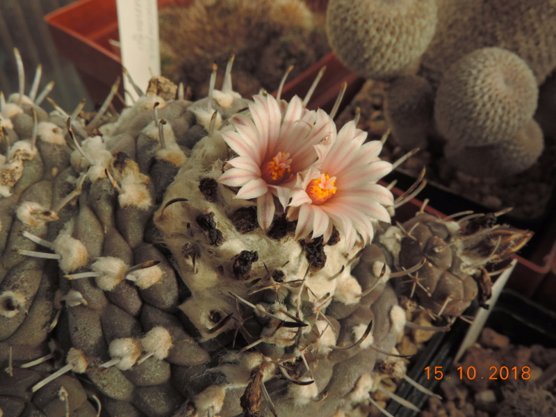 Cacti and Sukkulent in Köln, every day new flowers in the greenhouse Part 201 Bild1394
