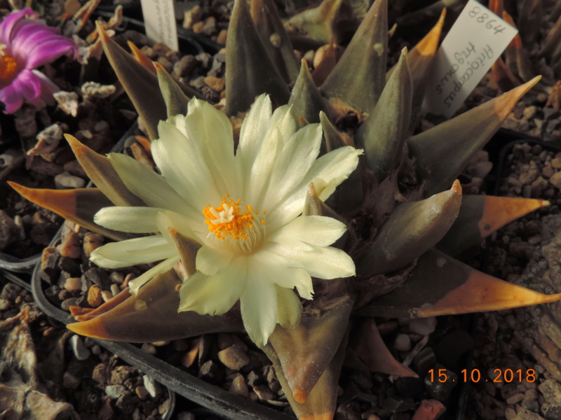 Cacti and Sukkulent in Köln, every day new flowers in the greenhouse Part 201 Bild1401