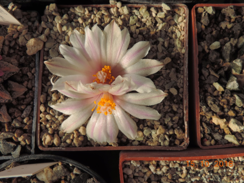 Cacti and Sukkulent in Köln, every day new flowers in the greenhouse Part 201 Bild1403