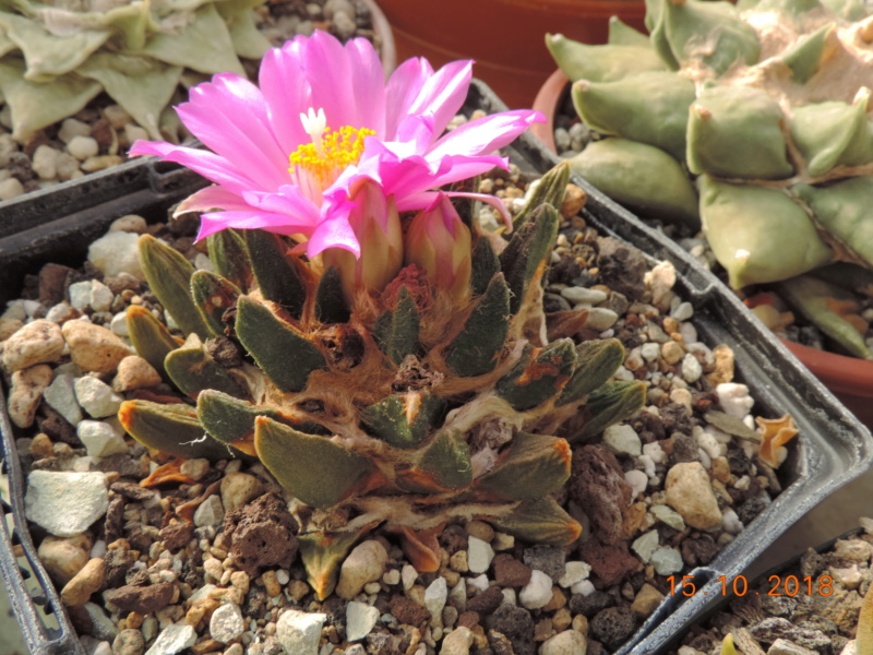 Cacti and Sukkulent in Köln, every day new flowers in the greenhouse Part 201 Bild1408