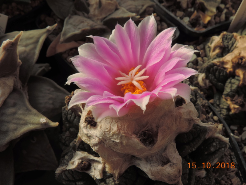Cacti and Sukkulent in Köln, every day new flowers in the greenhouse Part 201 Bild1410