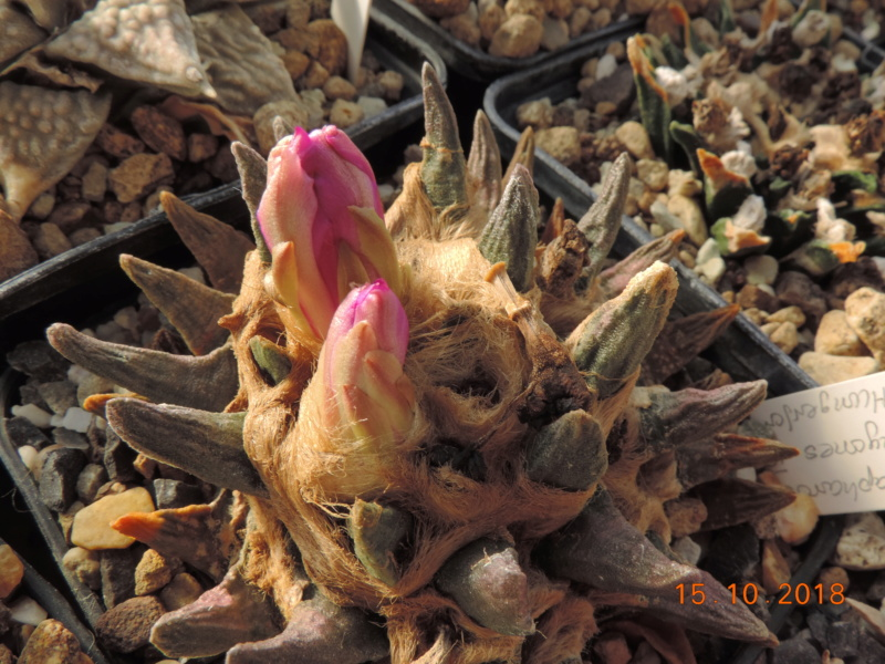 Cacti and Sukkulent in Köln, every day new flowers in the greenhouse Part 201 Bild1412