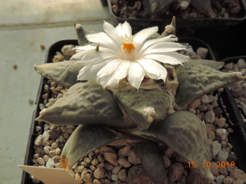 Cacti and Sukkulent in Köln, every day new flowers in the greenhouse Part 201 Bild1415