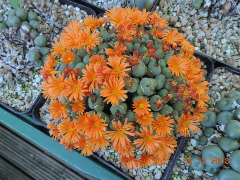 Cacti and Sukkulent in Köln, every day new flowers in the greenhouse Part 201 Bild1421