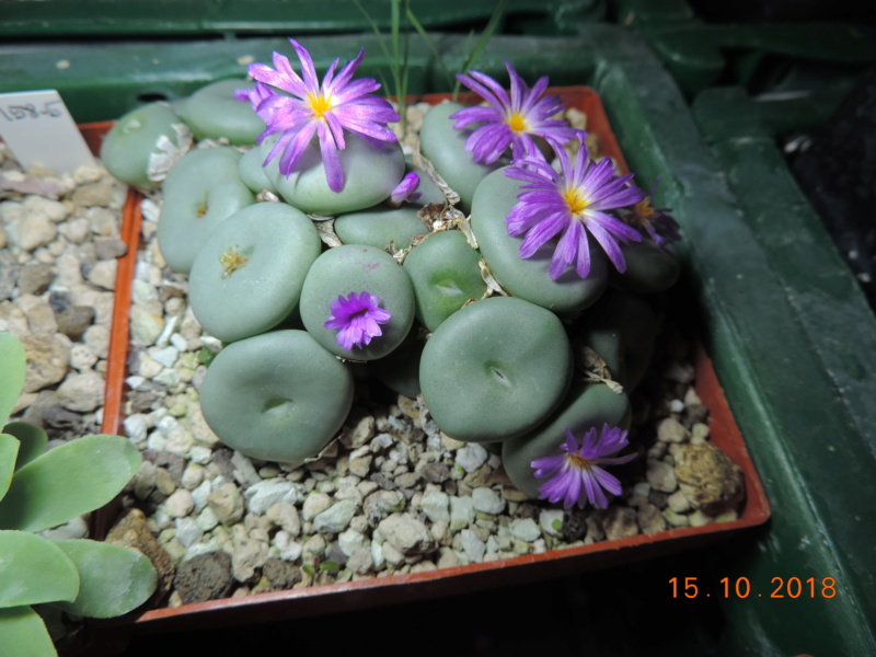 Cacti and Sukkulent in Köln, every day new flowers in the greenhouse Part 201 Bild1441