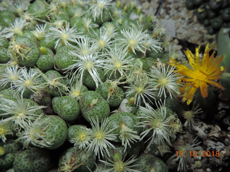 Cacti and Sukkulent in Köln, every day new flowers in the greenhouse Part 201 Bild1443