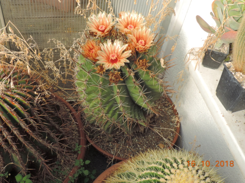 Cacti and Sukkulent in Köln, every day new flowers in the greenhouse Part 201 Bild1459