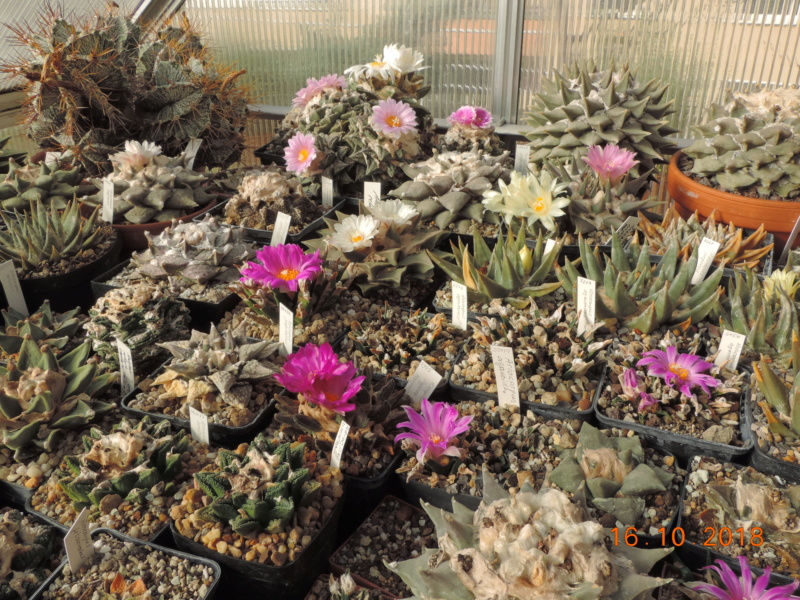 Cacti and Sukkulent in Köln, every day new flowers in the greenhouse Part 201 Bild1462