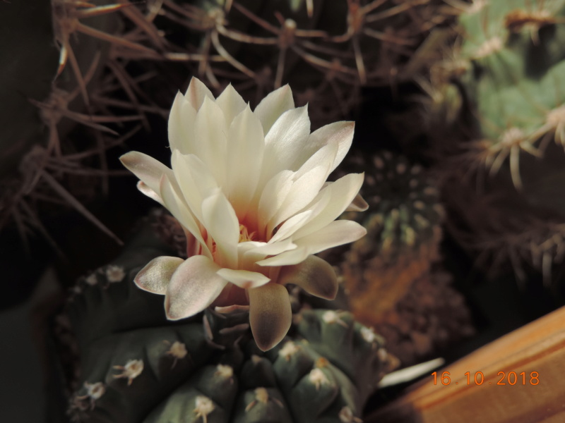 Cacti and Sukkulent in Köln, every day new flowers in the greenhouse Part 201 Bild1464