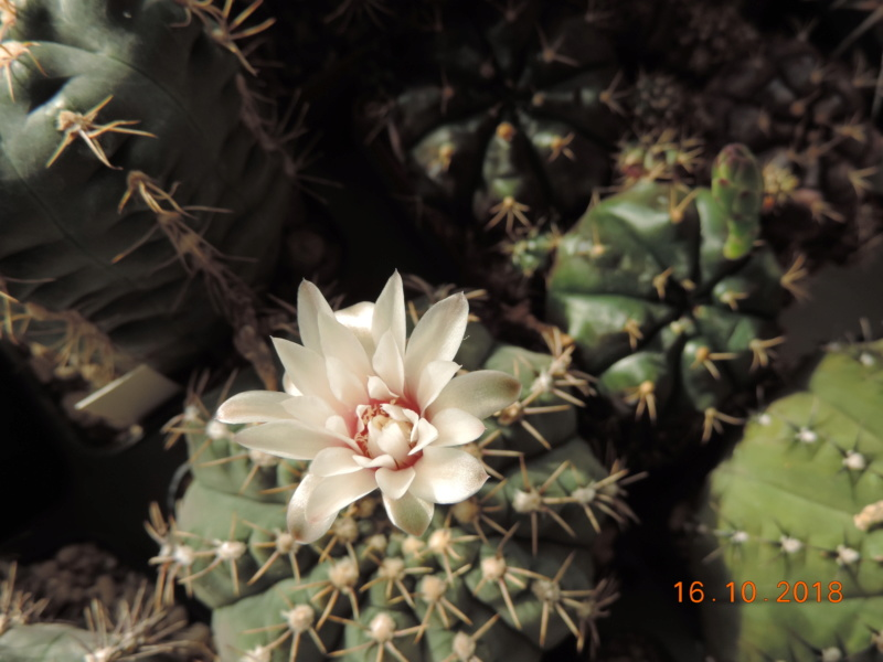 Cacti and Sukkulent in Köln, every day new flowers in the greenhouse Part 201 Bild1470