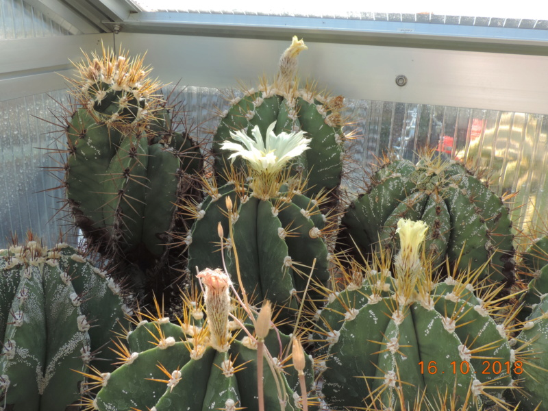 Cacti and Sukkulent in Köln, every day new flowers in the greenhouse Part 201 Bild1472