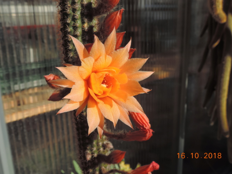 Cacti and Sukkulent in Köln, every day new flowers in the greenhouse Part 201 Bild1473