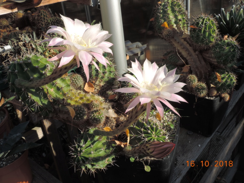 Cacti and Sukkulent in Köln, every day new flowers in the greenhouse Part 201 Bild1474