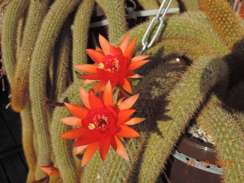 Cacti and Sukkulent in Köln, every day new flowers in the greenhouse Part 201 Bild1476