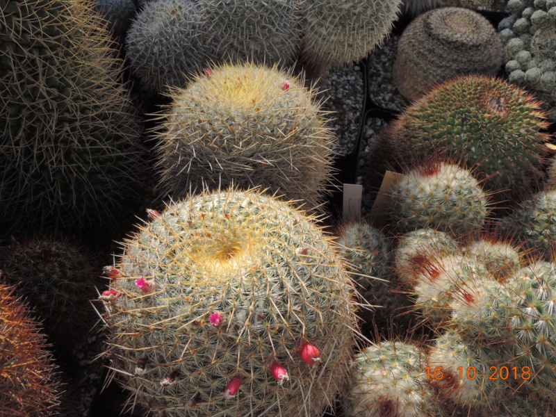Cacti and Sukkulent in Köln, every day new flowers in the greenhouse Part 201 Bild1484
