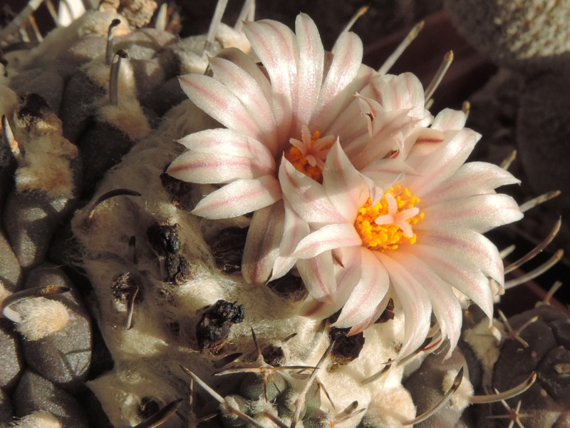 Cacti and Sukkulent in Köln, every day new flowers in the greenhouse Part 201 Bild1487