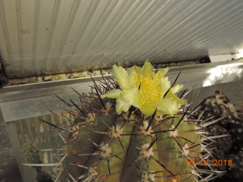 Cacti and Sukkulent in Köln, every day new flowers in the greenhouse Part 201 Bild1488