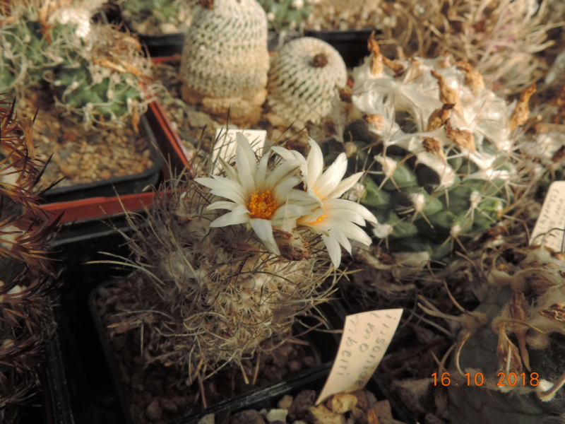 Cacti and Sukkulent in Köln, every day new flowers in the greenhouse Part 201 Bild1490