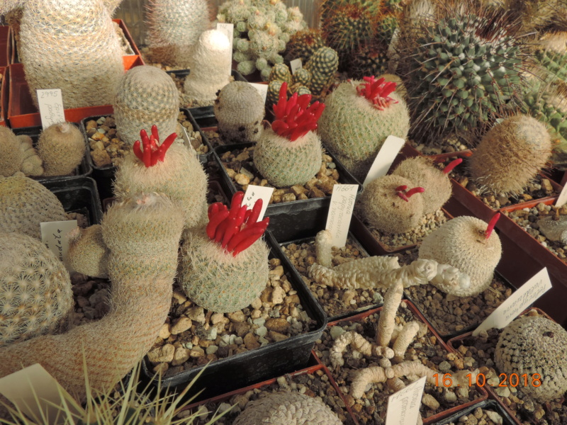 Cacti and Sukkulent in Köln, every day new flowers in the greenhouse Part 201 Bild1491