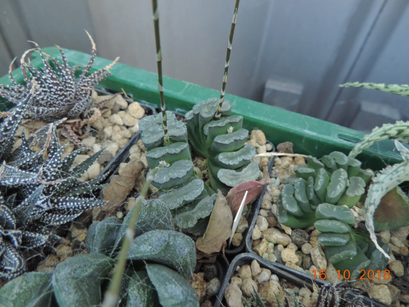 Cacti and Sukkulent in Köln, every day new flowers in the greenhouse Part 201 Bild1496