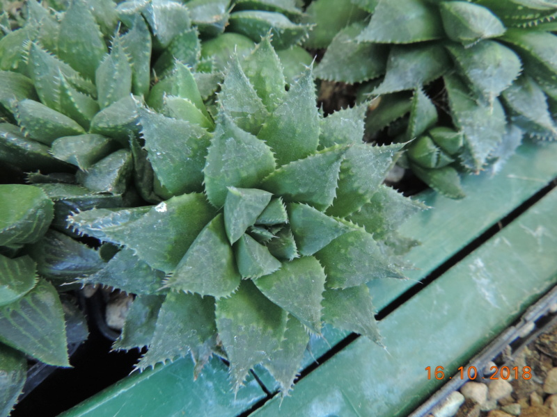 Cacti and Sukkulent in Köln, every day new flowers in the greenhouse Part 201 Bild1505
