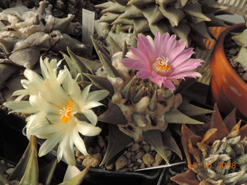 Cacti and Sukkulent in Köln, every day new flowers in the greenhouse Part 202 Bild1513