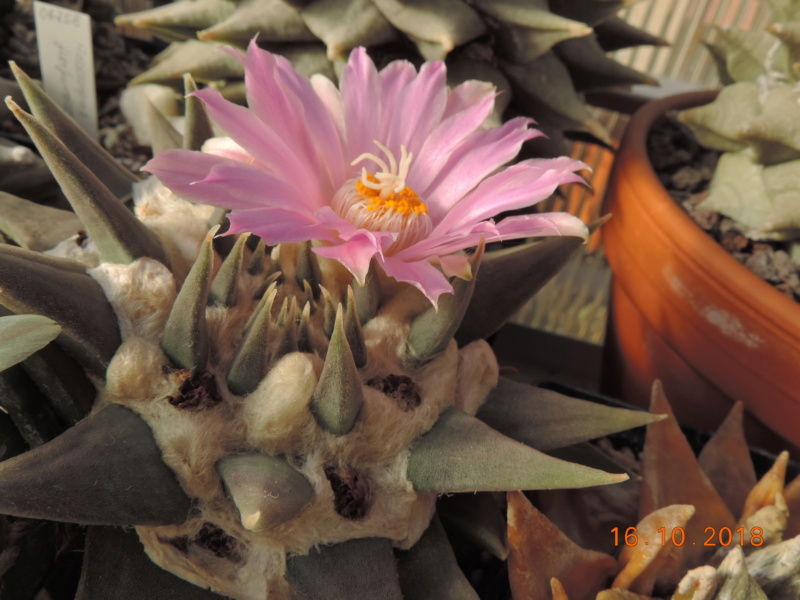 Cacti and Sukkulent in Köln, every day new flowers in the greenhouse Part 202 Bild1514