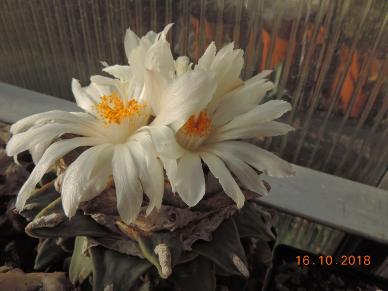 Cacti and Sukkulent in Köln, every day new flowers in the greenhouse Part 202 Bild1515