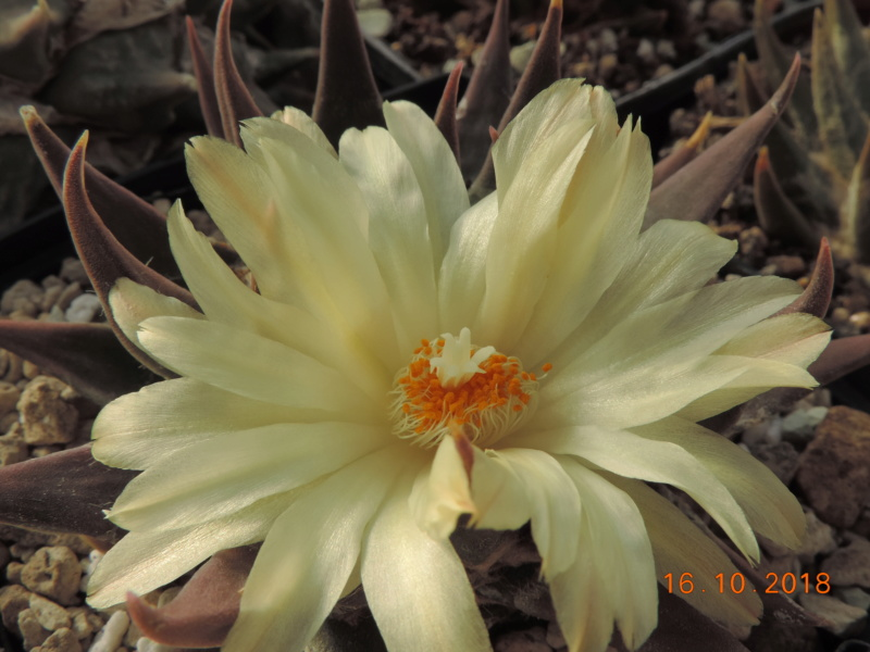 Cacti and Sukkulent in Köln, every day new flowers in the greenhouse Part 202 Bild1521