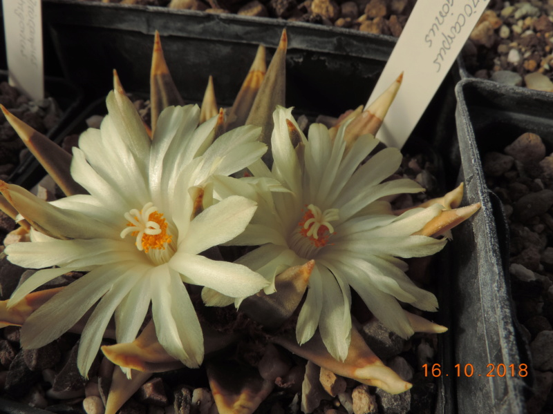 Cacti and Sukkulent in Köln, every day new flowers in the greenhouse Part 202 Bild1545