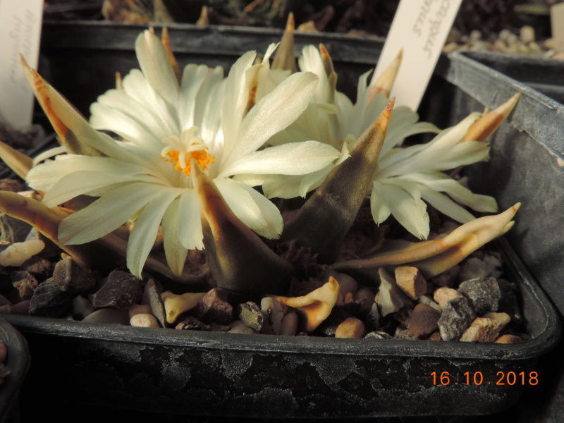 Cacti and Sukkulent in Köln, every day new flowers in the greenhouse Part 202 Bild1546