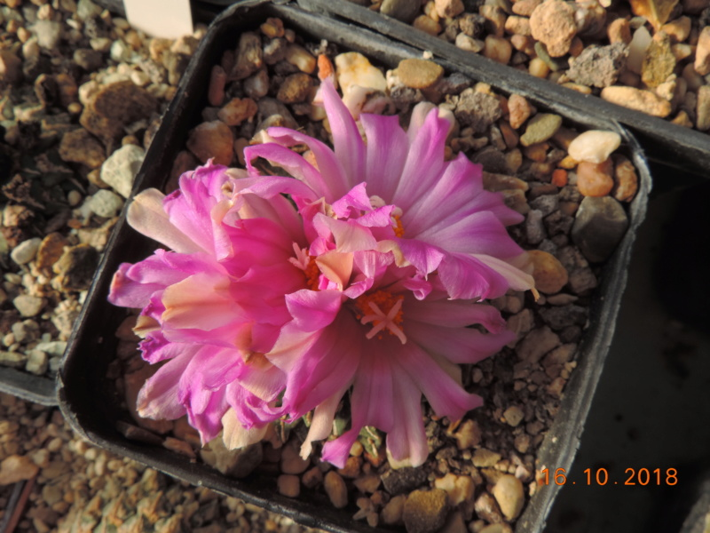 Cacti and Sukkulent in Köln, every day new flowers in the greenhouse Part 202 Bild1547