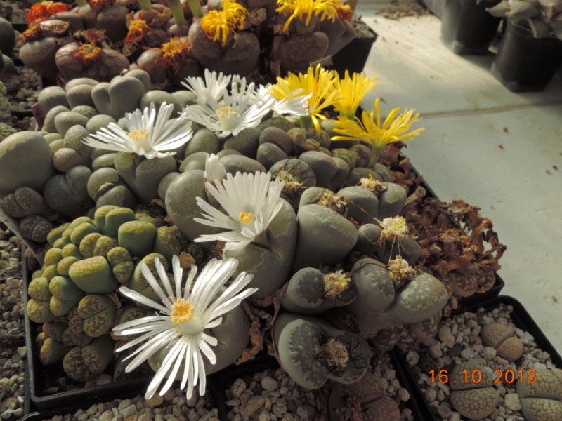 Cacti and Sukkulent in Köln, every day new flowers in the greenhouse Part 202 Bild1556