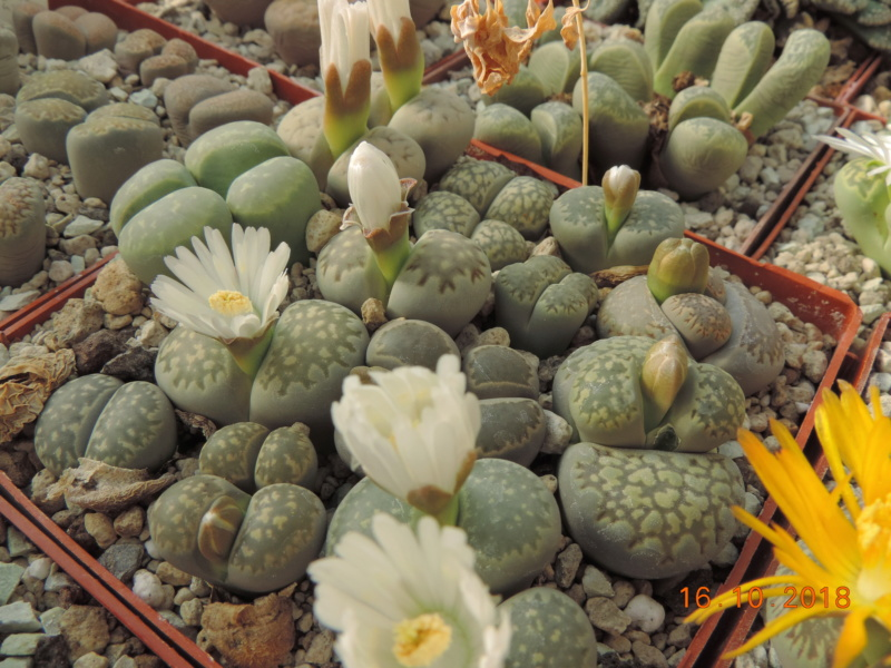 Cacti and Sukkulent in Köln, every day new flowers in the greenhouse Part 202 Bild1574