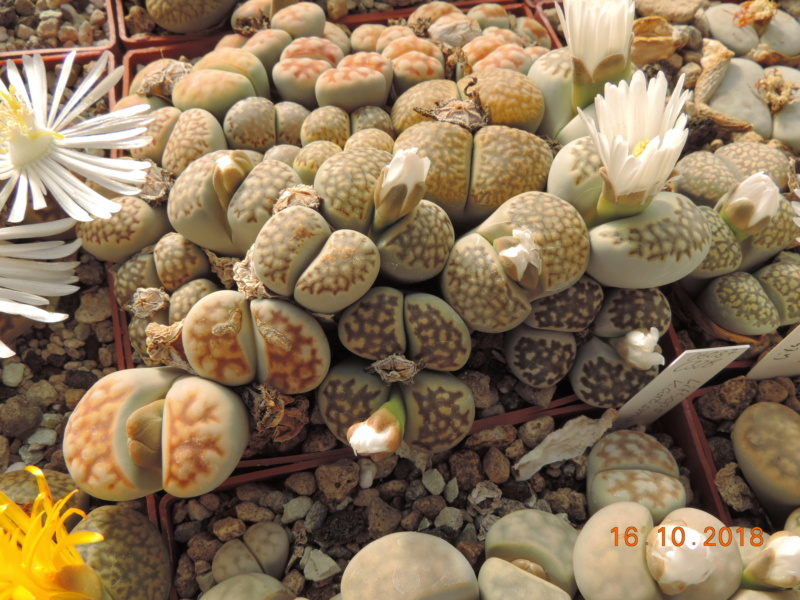 Cacti and Sukkulent in Köln, every day new flowers in the greenhouse Part 202 Bild1592