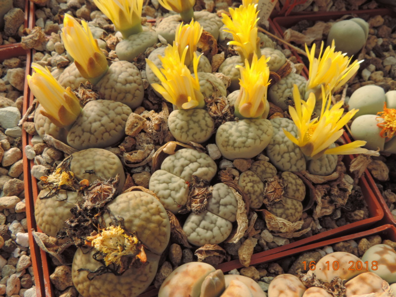 Cacti and Sukkulent in Köln, every day new flowers in the greenhouse Part 202 Bild1594