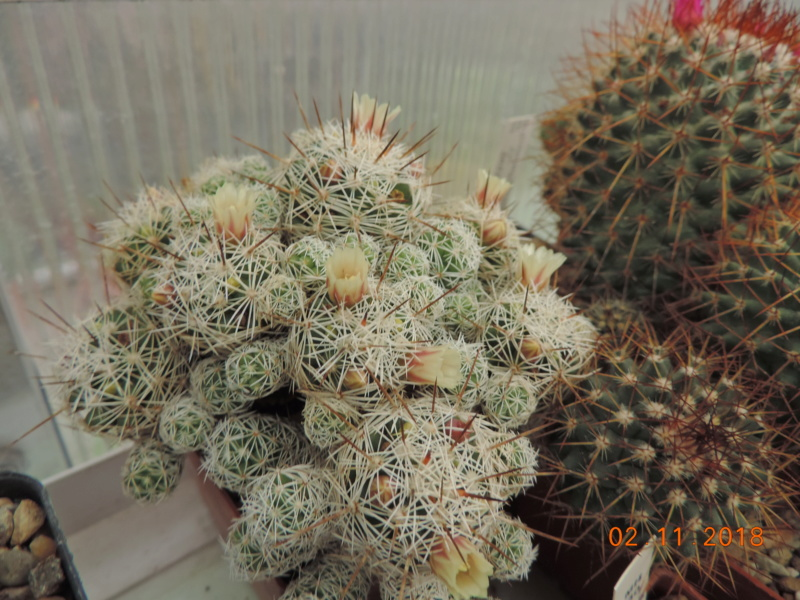 Cacti and Sukkulent in Köln, every day new flowers in the greenhouse Part 202 Bild1650