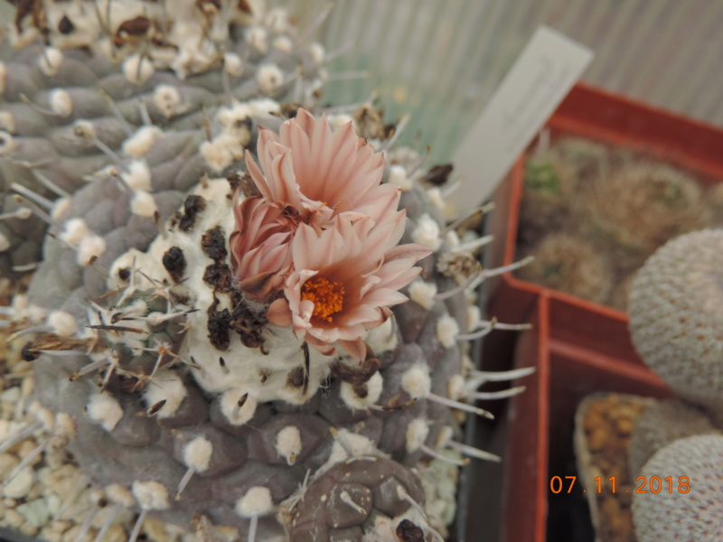 Cacti and Sukkulent in Köln, every day new flowers in the greenhouse Part 202 Bild1656