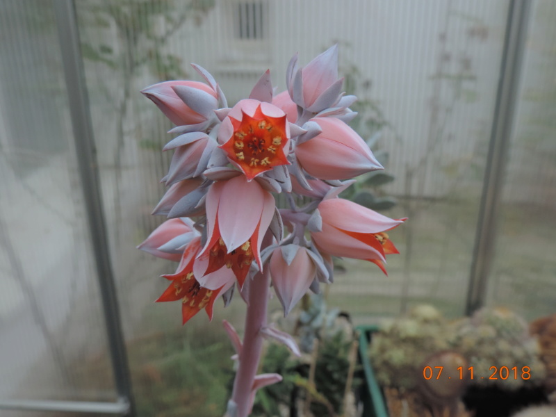 Cacti and Sukkulent in Köln, every day new flowers in the greenhouse Part 202 Bild1659