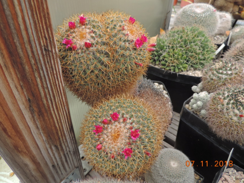 Cacti and Sukkulent in Köln, every day new flowers in the greenhouse Part 203 Bild1671