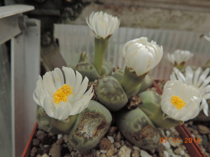 Cacti and Sukkulent in Köln, every day new flowers in the greenhouse Part 203 Bild1682