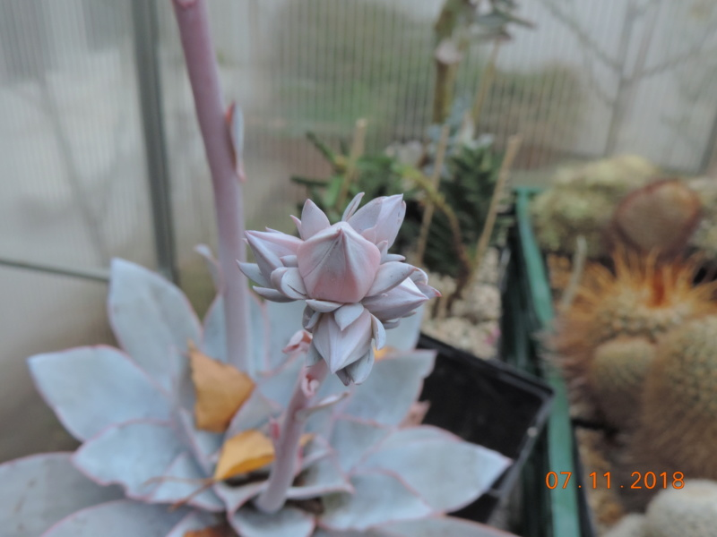 Cacti and Sukkulent in Köln, every day new flowers in the greenhouse Part 203 Bild1716