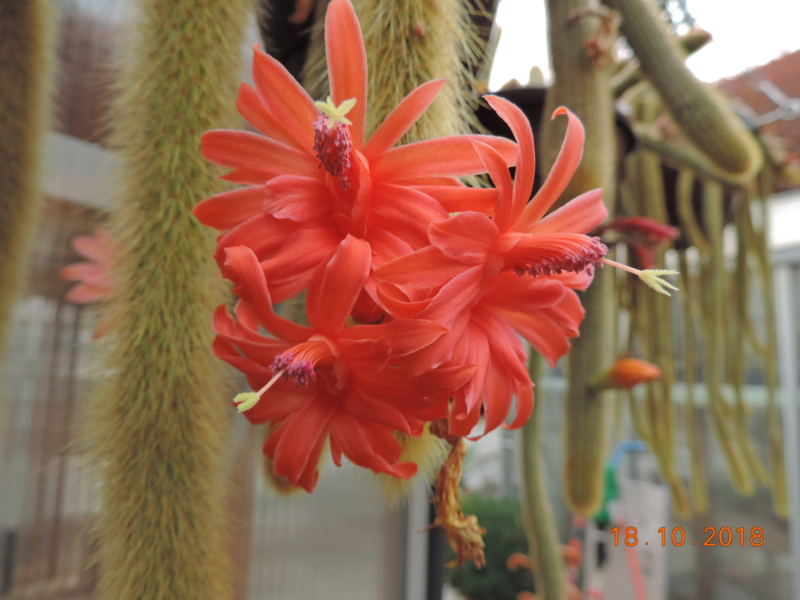 Cacti and Sukkulent in Köln, every day new flowers in the greenhouse Part 203 Bild1722